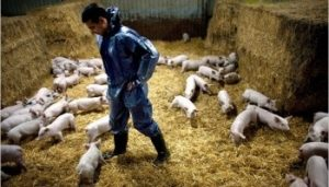 Как начать бизнес на свиньях