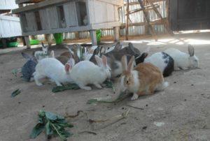 Как создать бизнес на кроликах